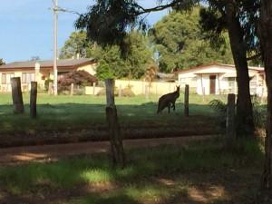 2015_09_08 kangaroo (5)